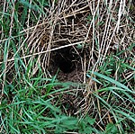 water vole nest identified during the national species survey at Shepreth Wildlife Park