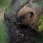 image of a UK common hedgehog at Shepreth Wildlife Conservation Charity Hedgehog Hospital
