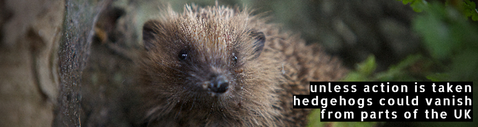Unless action is taken hedgehogs could vanish from parts of the UK