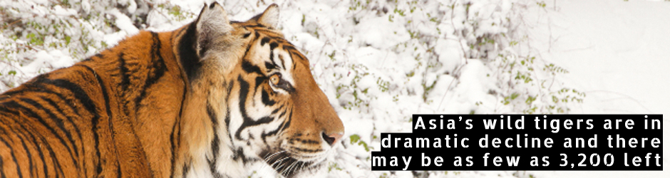 Asia's wild tigers are in dramatic decline and there may be as few as 3,200 left.