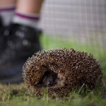 hedgehog curled up near a boys feet in a field
