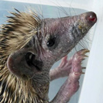 a hedgehog in need of care